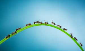 ants-marching-on-a-blade-of-grass